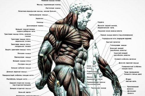 верхний плечевой пояс