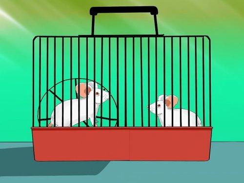 крысы опыты