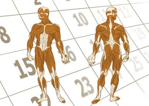 мышцы атлас